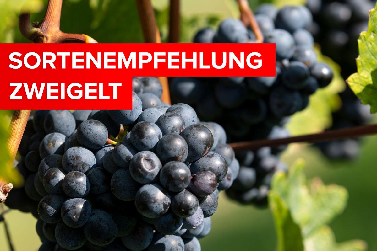 """Featured image for """"Unsere Sorten-Empfehlung – der Zweigelt"""""""